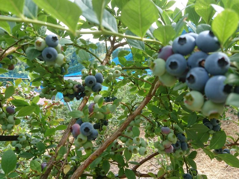 標高500mで栽培しているブルーベリー